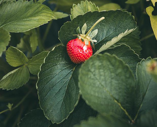 fraise-feuille-landes