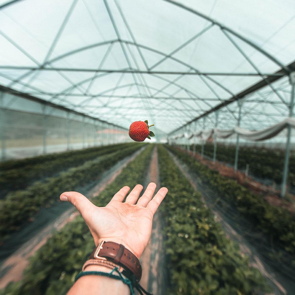 fraise-landes-01