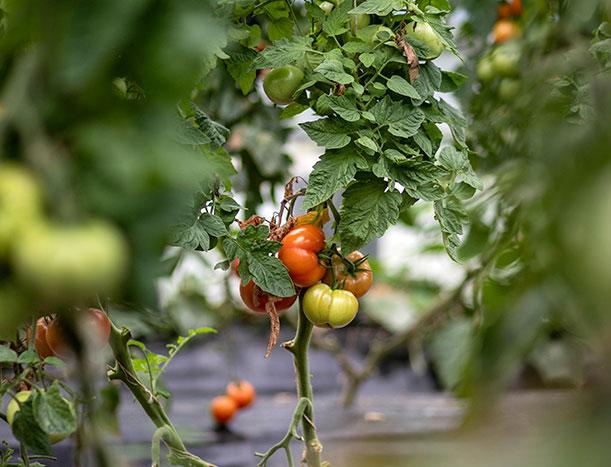 tomate-mathio-ferme