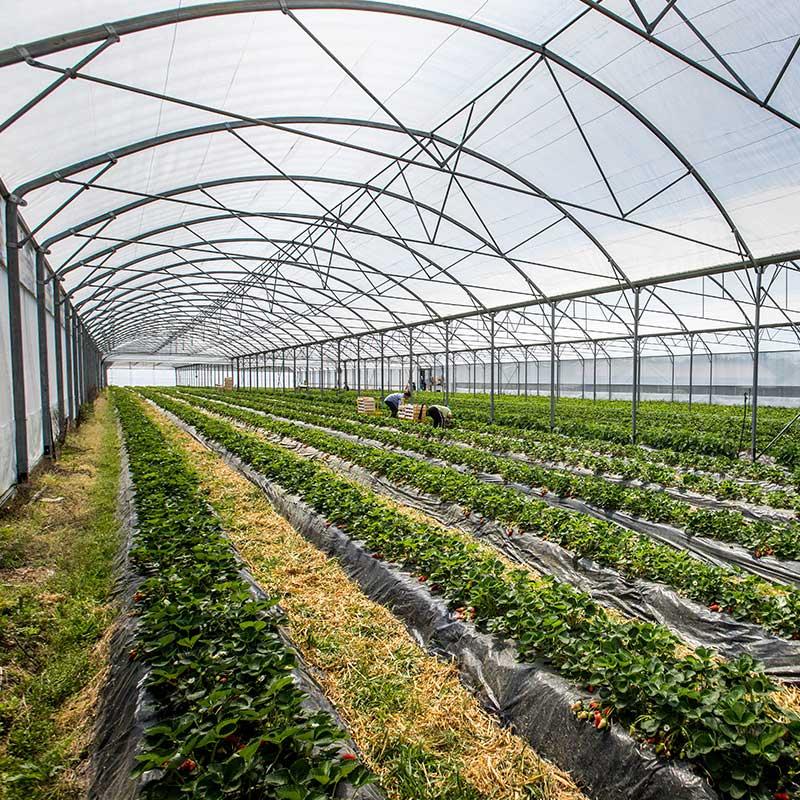 champs-fraise-landes