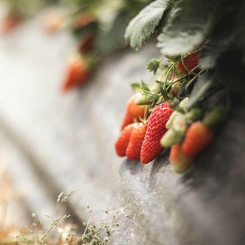 fraise-42