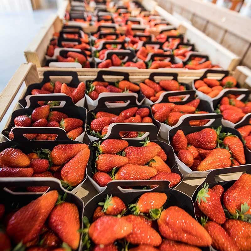 fraise-47